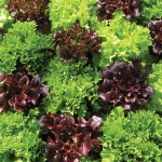 LETTUCE MULTI LEAF MIXED