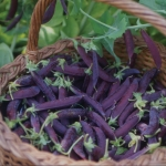 PURPLE PODDED PEA DESIREE