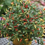 PEPPER BASKET OF FIRE F1