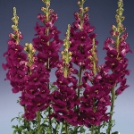 ANTIRRHINUM APOLLO PURPLE F1
