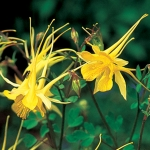AQUILEGIA CHRYSANTHA YELLOW STAR