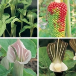 ARISAEMA SPECIES MIXED