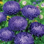 ASTER LADY CORAL DARK BLUE