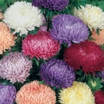 ASTER LADY CORAL MIXED