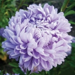ASTER LADY CORAL LIGHT BLUE