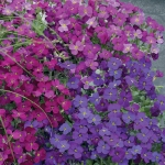 AUBRETIA AUDREY PURPLE RED SHADES F1