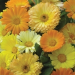 CALENDULA GALAXY MIXED