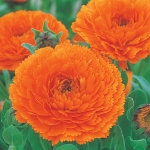 CALENDULA ORANGE STAR