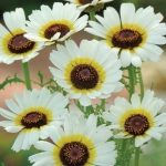 CHRYSANTHEMUM POLAR STAR