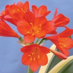 CLIVIA VARIEGATA DEEP RED SHADES