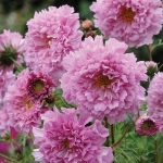 COSMOS DOUBLE ROSE BONBON
