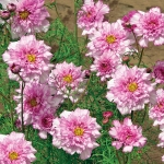 COSMOS DOUBLE BONBON ROSE BICOLOUR