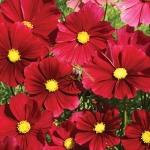 COSMOS RUBY RED SENSATION