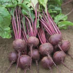BEETROOT ACTION F1