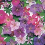 GERANIUM HARDY SPECIES MIXED
