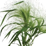 GRASS:  PANICUM FROSTED EXPLOSION