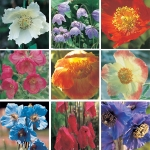 MECONOPSIS SPECIES MIXED