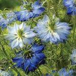 NIGELLA MOODY BLUE