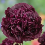 PAPAVER PAEONIFLORUM BLACK BEAUTY