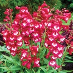 PENSTEMON LUSCIOUS LIPS