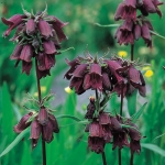 PENSTEMON WHIPPLEANUS CHOCOLATE DROP