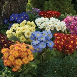 PRIMULA YOU AND ME  MIXED