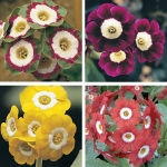 AURICULAS ELITE GARDEN MIX