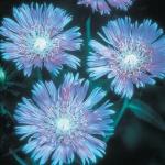 STOKESIA LAEVIS BLUE STAR
