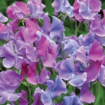 SWEET PEA DUCHY OF CAMBRIDGE