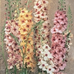 VERBASCUM SOUTHERN CHARM
