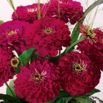 ZINNIA GIANT WINE BOUQUET