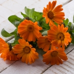 CALENDULA ORANGE DAISY