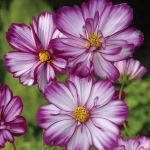 COSMOS FIZZY ROSE PICOTEE