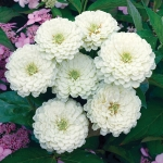ZINNIA WHITE WEDDING