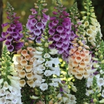 DIGITALIS DALMATION MIXED