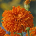 MARIGOLD KEES ORANGE