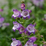 PENSTEMON CARILLO PURPLE