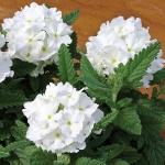 VERBENA TUSCANY WHITE