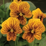 VIOLA TIGER EYE GOLD F1