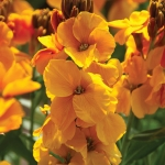 WALLFLOWER SUNSET GOLDEN ORANGE F1