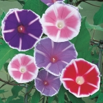 IPOMOEA MT FUJI MIXED