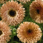 CALENDULA COFFEE CREAM