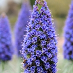 ECHIUM PININANA TOWER OF JEWELS