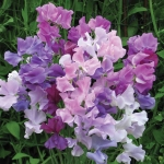 SWEET PEA TWILIGHT