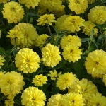 ZINNIA ZAHARA DOUBLE YELLOW F1