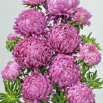 ASTER TOWER PURPLE PINK