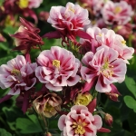 AQUILEGIA WINKY DOUBLE RED & WHITE
