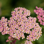 ACHILLEA LOVE PARADE