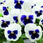 PANSY INSPIRE WHITE BLOTCH F1