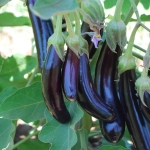 AUBERGINE LITTLE FINGERS